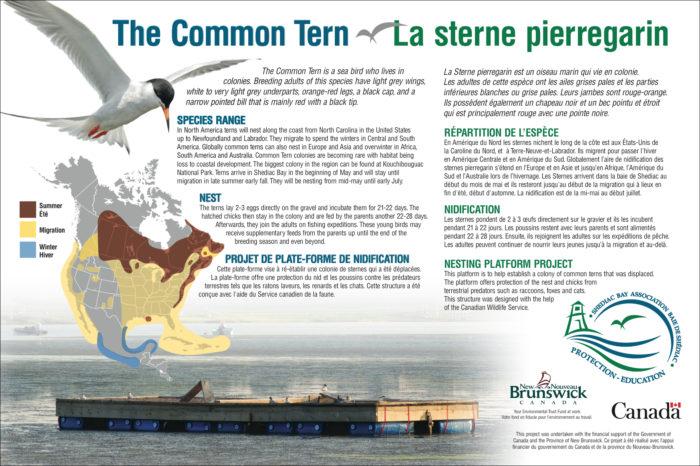 Common Tern / Sterne pierregarin - SBWA